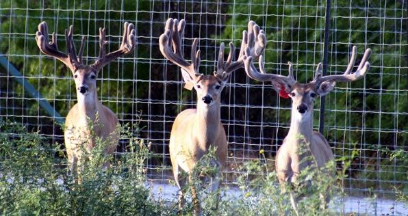 Deer in a pen